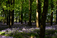 Ashridge - Bluebells